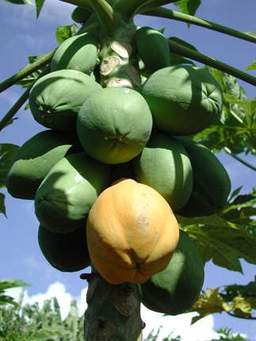 Growing Your Pawpaw