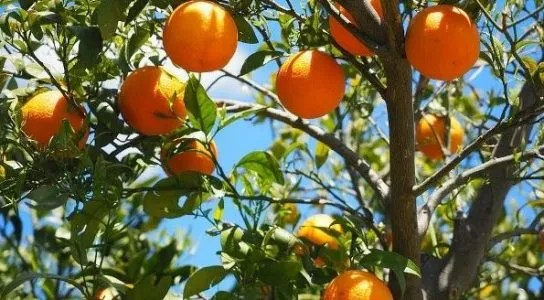 Orange Farming | Varieties | Condition Requirements
