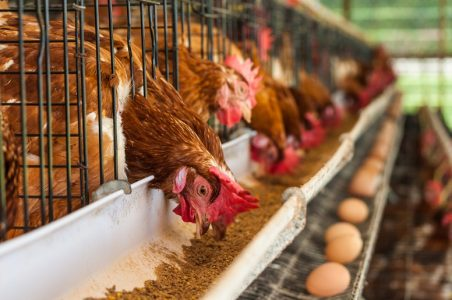Layer Poultry Farming Guide For Farmers
