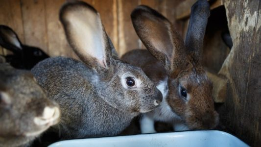 Rabbit Production