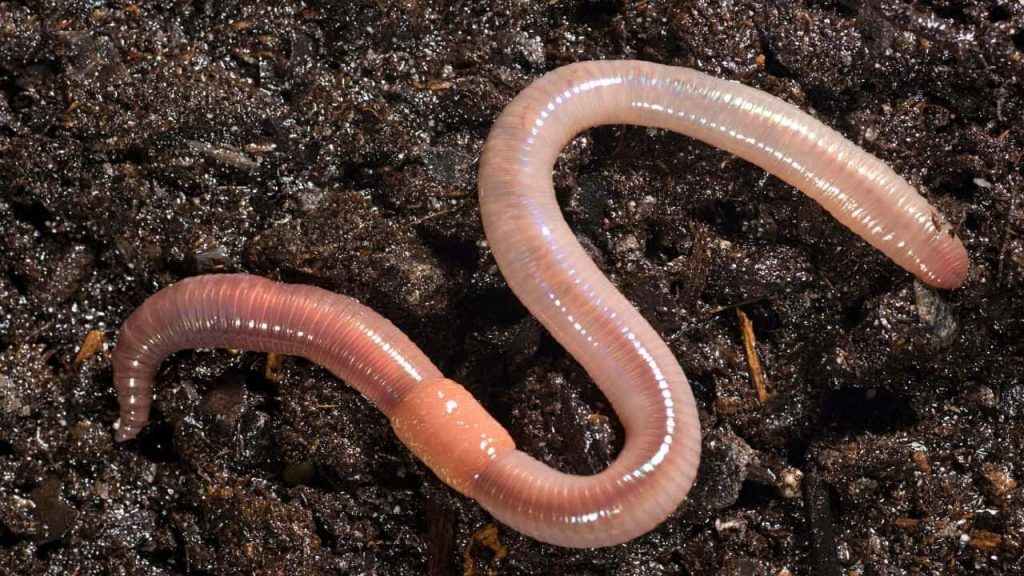 Earthworm Types and Benefits to Soil Fertility and Plants in Agriculture