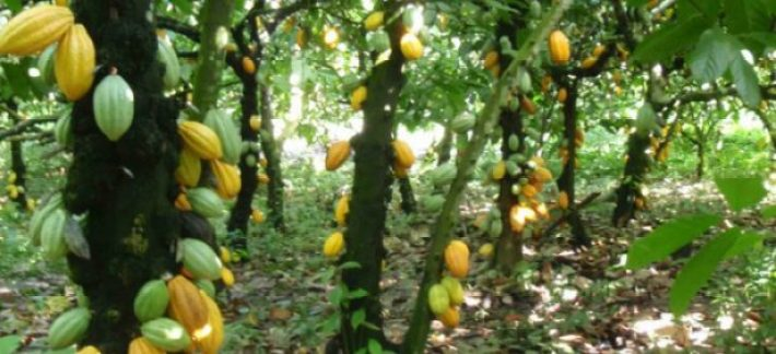 How to Start Cocoa Farming in Nigeria