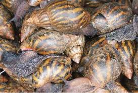 Snail Farming for Beginners (List of Snail Feed in Nigeria)