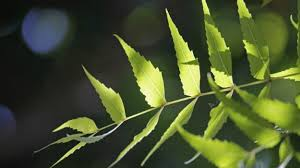 10-Wonderful-Benefits-and-Uses-of-Neem-A -Herb-that-Heals