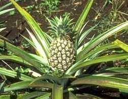 Rapid Multiplication of Pineapple Suckers