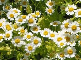 Growing Feverfew Herb in the Garden
