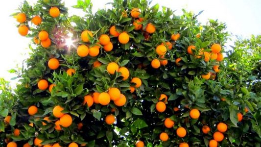 How to Start Orange and Lemon Farming in Nigeria