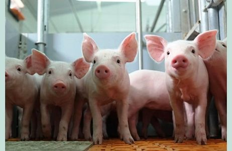 Piglet Anaemia: Causes and Prevention