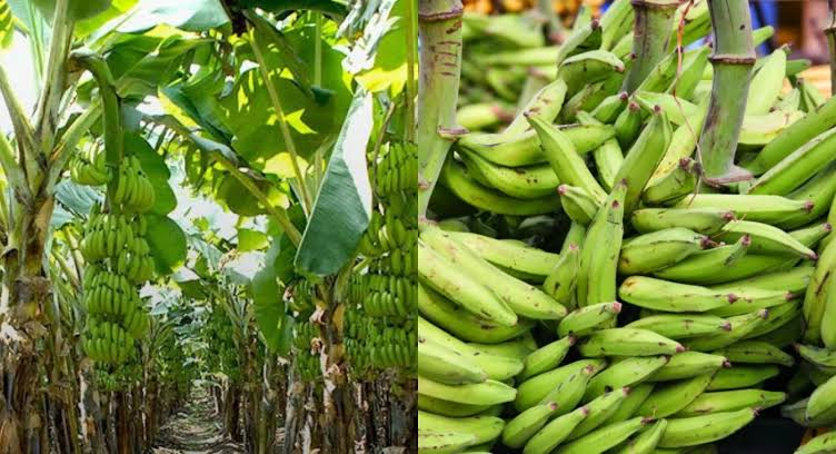 How to Set Up A Plantain Plantation Business