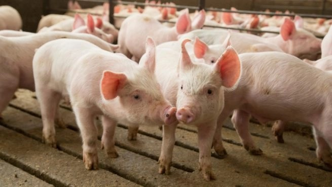 How to Make Millions from Pig Farming