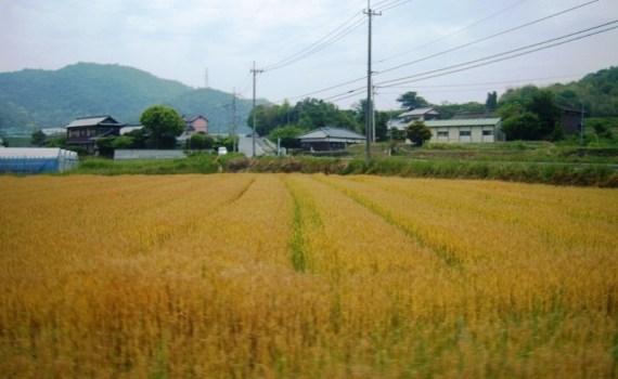 Blé de Kagawa