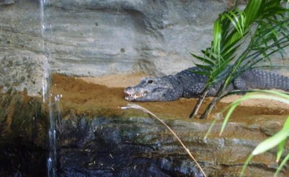 Crocodile Nain - Ueno