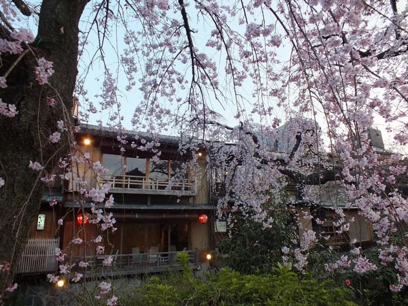 Gion - 7 - cerisiers de shirakawa minami-dori