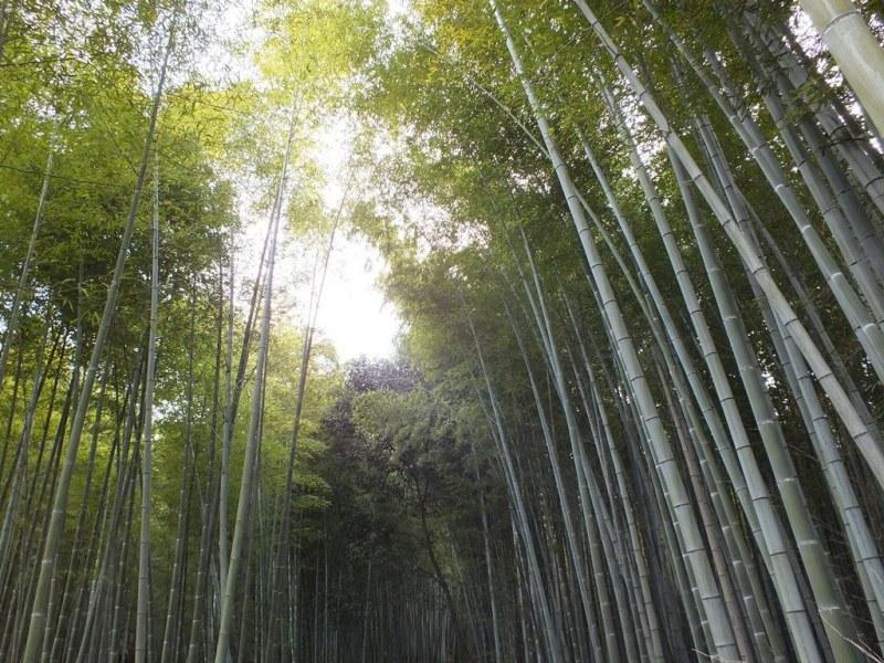 Bambous Arashiyama - 8
