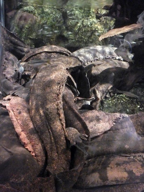 Salamandre Geante du Japon - 4