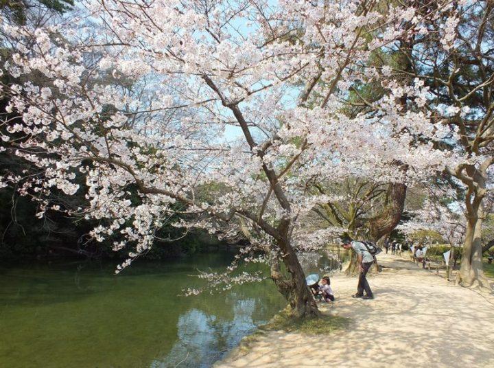 Cerisiers au Parc Ritsurin - 2015 - 11
