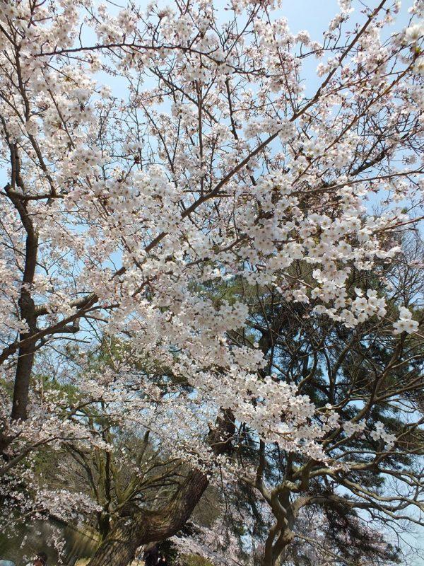 Cerisiers au Parc Ritsurin - 2015 - 12