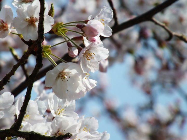 Cerisiers au Parc Ritsurin - 2015 - 8