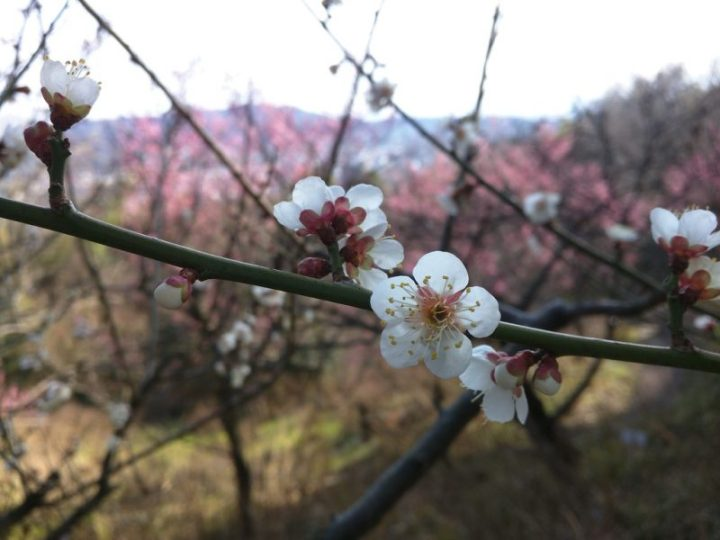 Le printemps arrive - Pruniers - Shikoku Mura - 7