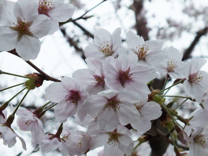 13 - Cerisiers
