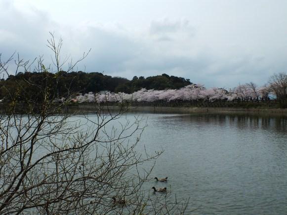Cerisiers au Parc Kikaku 2017 - 11