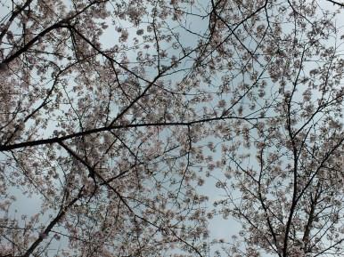 Cerisiers au Parc Kikaku 2017 - 15