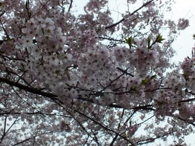 Cerisiers au Parc Kikaku 2017 - 17