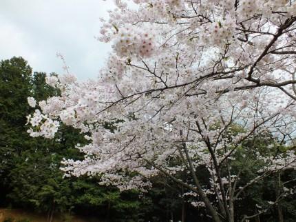 Cerisiers au Parc Kikaku 2017 - 19
