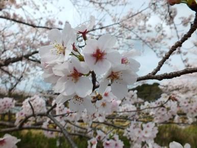 Cerisiers au Parc Kikaku 2017 - 6