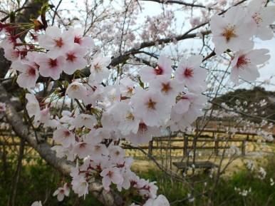 Cerisiers au Parc Kikaku 2017 - 7
