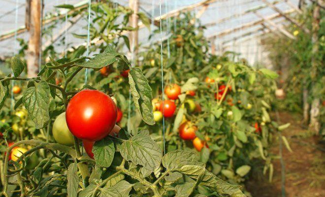 : Выращивание помидоров в теплице