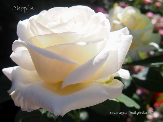 Róża Fryderyk Chopin