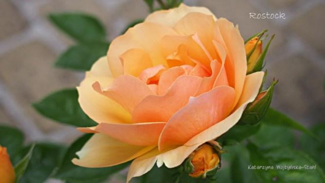 Róża Hansestadt Rostock