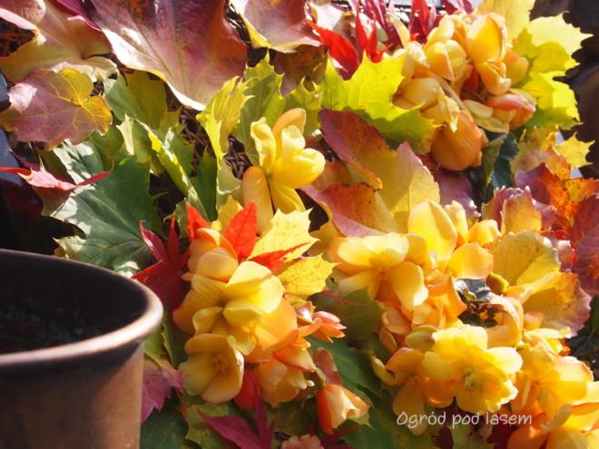 Moja ulubiona begonia bulwiasta, pomarańczowo żółta, kwitnie na tarasie aż do pierwszych przymrozków. Przez cały rok doskonale nadaje się do wszelkich dekoracji i do bukietów.
