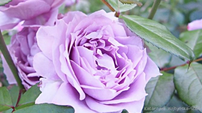 Róża Novalis