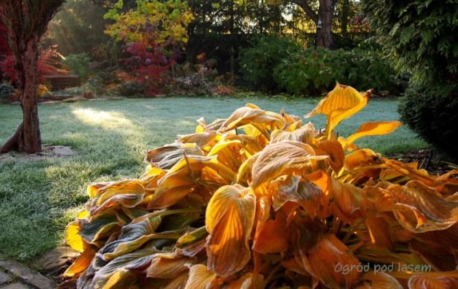 Funkia jesienią