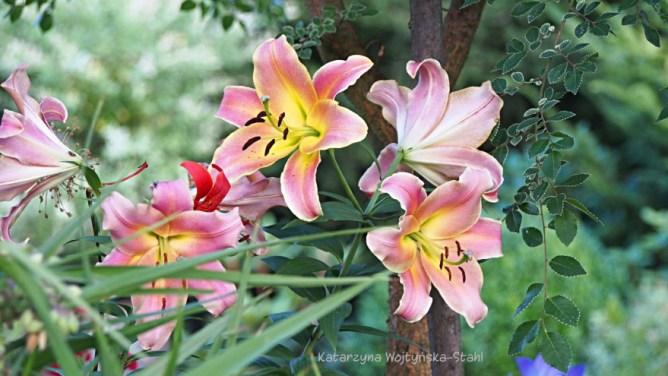 Lilie ogrodowe