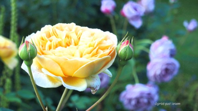 Róża Golden Celebration