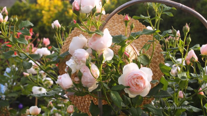 Kapelusze i róże
