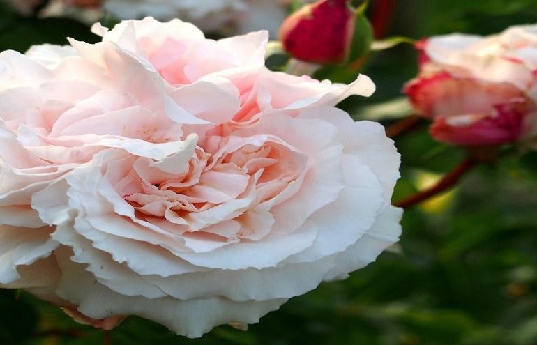 Róża Constanze Mozart