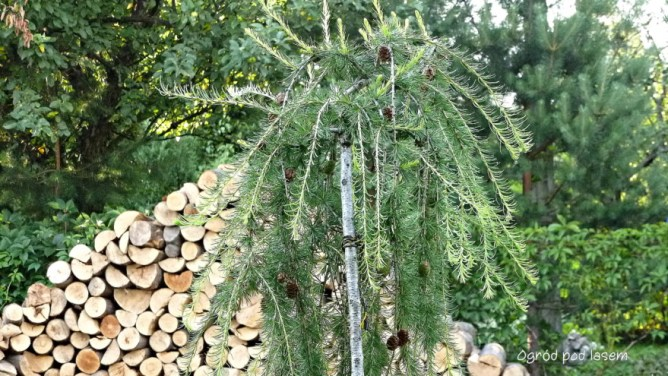 Modrzew eropejski (Larix decidua Pendula)