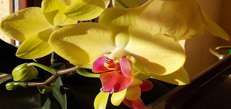 Storczyk Falenopsis Piękna Domowa Roślina Uprawa I