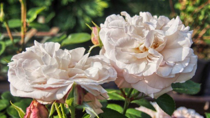 Róża Herkules
