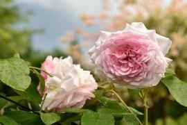 Róża Alexandra Princesse de Luxembourg
