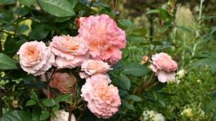Róża Augusta Luise