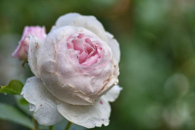 Róża Herzogin Christiana