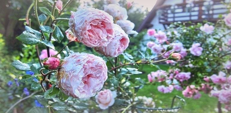 Pachnące róże