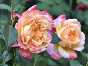 Róża Speelwark