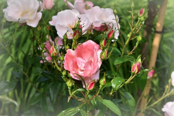 Roseromantic