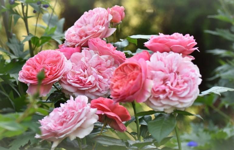 Róża Chippendale